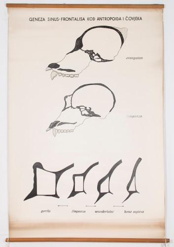 Nastanak čeonog sinusa od antropoida do čovjeka