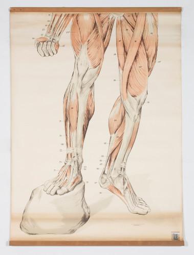 Anatomski prikaz muskulature nogu
