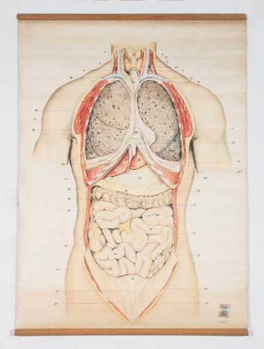 Anatomski crtež unutarnjih organa čovjeka
