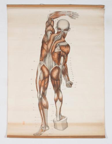 Anatomski prikaz muskulature ljudskog tijela